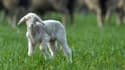 Un agneau, en Allemagne, en 2014. (photo d'illustration)