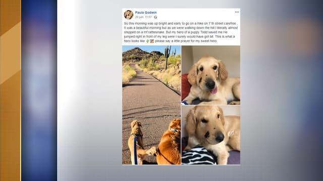 Todd, un golden retriever de six mois mordu par un serpent à sonnette vendredi dernier en Arizona.