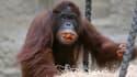 Un autre orang-outang, en Allemagne, en novembre dernier.