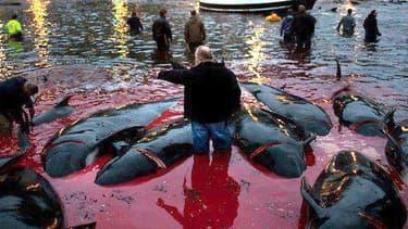 Aux îles Féroé, la chasse aux dauphins-globicéphales, le nom de cette espèce, fait partie des traditions culturelles.