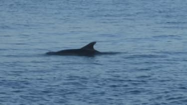 Turquie: ces dauphins profitent du trafic maritime réduit sur le Bosphore pendant le confinement