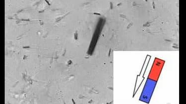 Chaque spermatozoïde, muni d'un nano-tube, se pilote par champ magnétique