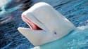 Les baleines blanches ont déjà été utilisées par la marine russe.