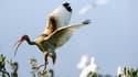 Ibis blanc couvert de pétrole près de Port Sulpher, en Louisiane. Selon un document interne à BP rendu public par un élu du Congrès américain, le groupe estime que, dans le pire des cas, jusqu'à 100.000 barils de pétrole par jour pourrait s'échapper du pu