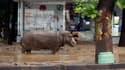 Un hippopotame s'est échappé du zoo de Tbilissi.