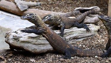 Le varan de Komodo peut peser 160 kilos une fois adulte.