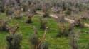 Une plantation d'olivier italienne décimée par Xylella Fastidiosa