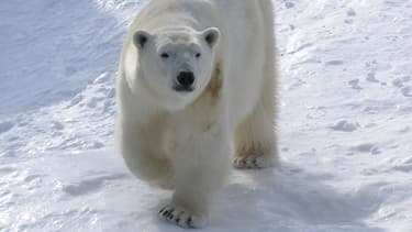 Le zoo sauvage de saint-Félicien accueille des ours blancs, qui ont donné deux naissances en décembre dernier.