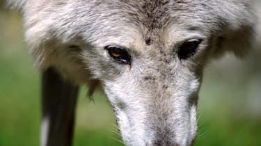 Un loup au zoo de Mulhouse (ILLUSTRATION)