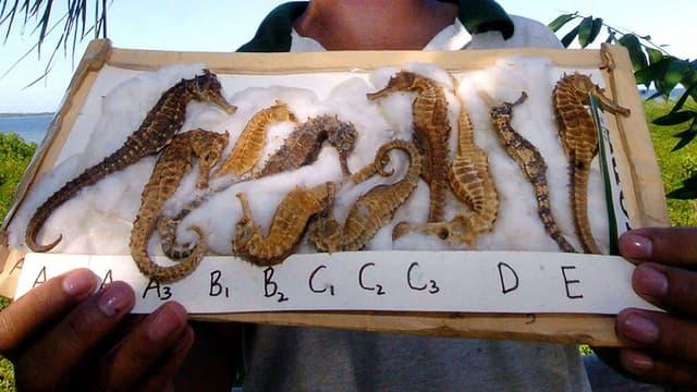 Les hippocampes séchés sont notamment utilisés dans la pharmacopée traditionnelle chinoise. (Photo d'illustration)
