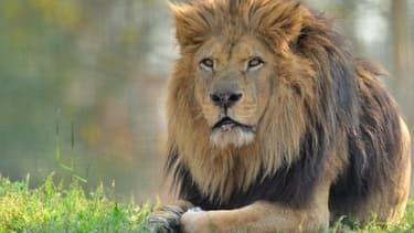 Néro, le lion du Parc Zoologique de Paris, en 2014.