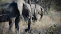 La Namibie vendra notamment 28 éléphants