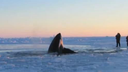 """Les deux adultes et neuf jeunes mammifères marins, appelés """"baleines tueuses"""" en Amérique du Nord, """"sont libres grâce à Mère nature""""."""