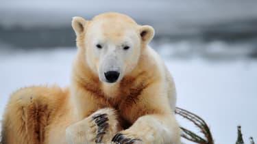 L'ours Knut est le premier ours polaire à naître en captivité au zoo de Berlin depuis plus de trente ans.