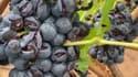 Des grappes de raisin endommagées par la grêle.