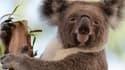 Un koala du zoo de Sydney en avril 2013.