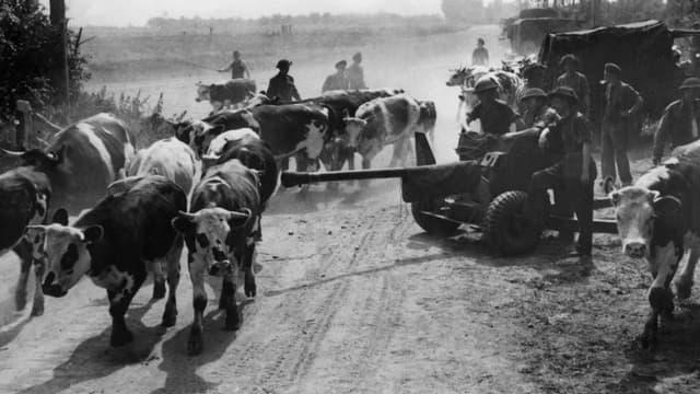 Des vaches sur les plages de Normandie en 1944