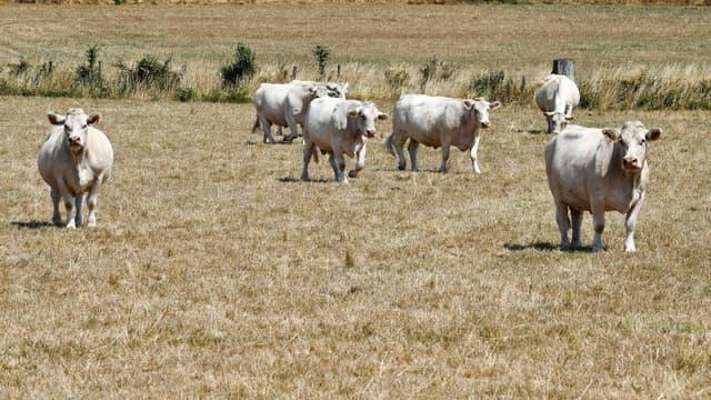 Un agriculteur condamné à cause des odeurs de son élevage bovin