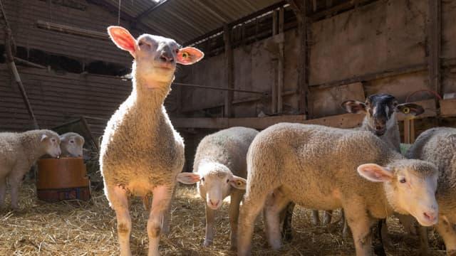 Selon L214, sur plus d'un million d'agneaux nouveaux-nés chaque année, seuls un quart sont gardés pour renouveler le cheptel, les autres étant envoyés dans des élevages intensifs puis à l'abattoir.