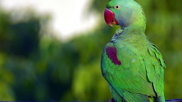 Un perroquet vert - photo d'illustration.