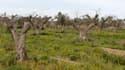Oliviers décimés par la bactérie xylella fastidiosa, en Italie où un million d'arbres sont touchés.