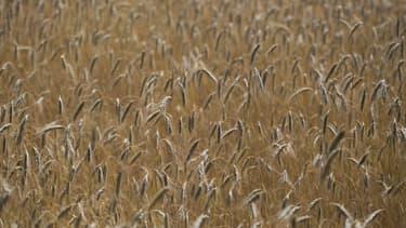 L'époxiconazole est notamment utilisé dans le traitement des champs de blé