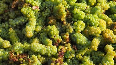 La production viticole française est bien partie pour être la pire de l'après-guerre