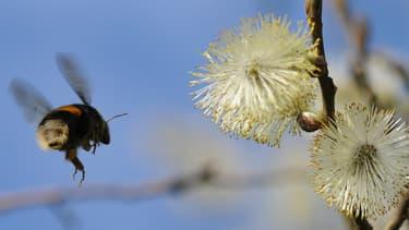 Le cycle de vie d'une colonie de bourdons commence au printemps, quand la reine se réveille de son hibernation