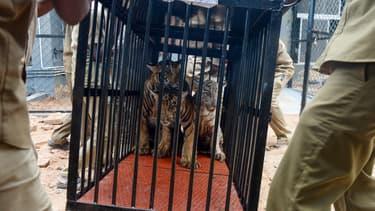 Des tigres en cage