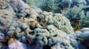 Coraux blanchis par le réchauffement climatique