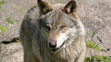 Il s'agit de la limite la plus occidentale où l'animal ait été observé depuis son retour naturel en France en 1992.