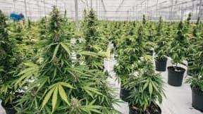 Le THC est l'une des principales molécules qui compose le cannabis.