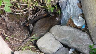 Les rats affectionnent particulièrement la compagnie des ordures.