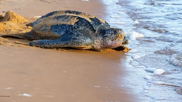 Une tortue Luth en train de pondre ses oeufs sous la surveillance de membres de l'association Kwata sur une plage de Remire-Montjoly, en Guyane française, le 4 juillet 2019. (Photo d'illustration)