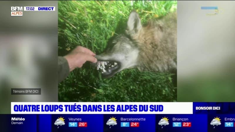 Hautes-Alpes: deux loups tués à Ancelle et Névache