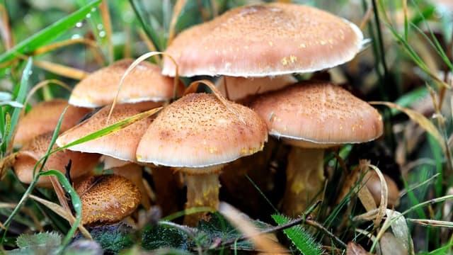 Un homme espère faire voter un texte visant à légiférer sur la dépénalisation des champignons hallucinogènes en Californie (image d'illustration)