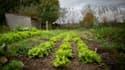 Des salades, dans une ferme biologique à Mont-Saint-Aignant.