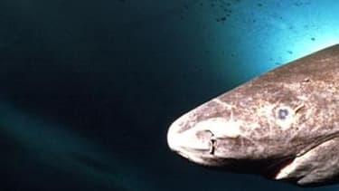 Le requin du Groenland grandit de 1 cm par an.
