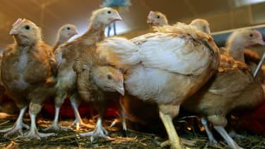 Face à la nouvelle épidémie de grippe aviaire, les élevages sont contraints de prendre des mesures draconiennes. (Photo d'illustration)