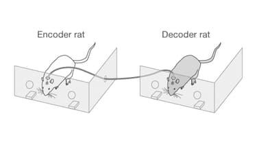 Les cerveaux des deux rats sont reliés par un câble.
