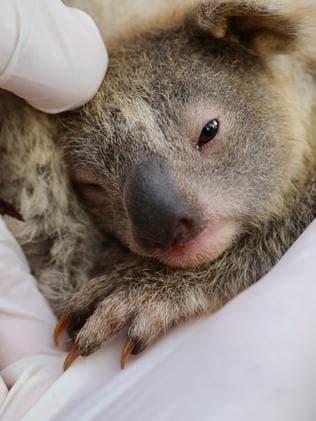 Le bébé koala Ash à l'Australian Reptile Park.