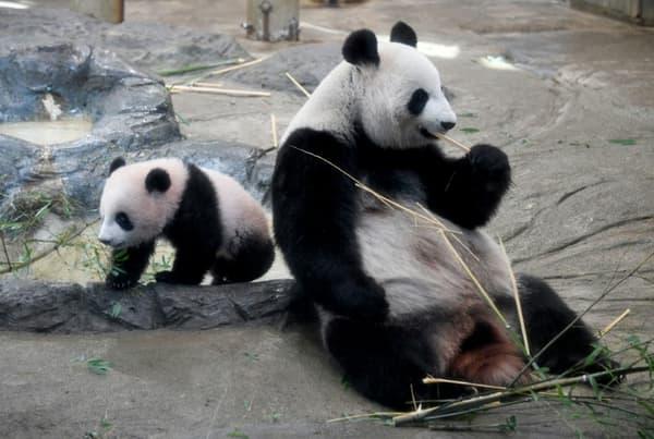 La femelle panda géant Shin Shin (d) et son bébé femelle  Xiang Xiang le 19 décembre 2017 au zoo d'Ueno à Tokyo