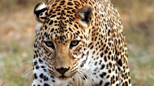 Le léopard rôdait autour du camping-car.