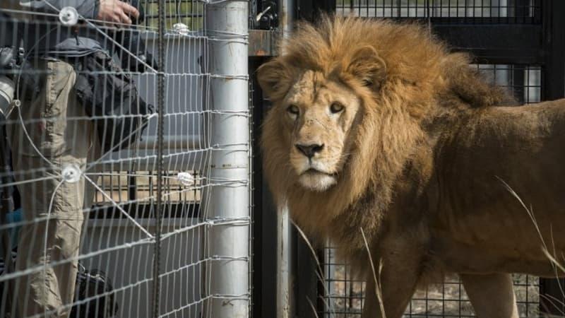 Six lions et trois tigres du zoo de Washington ont été testés positifs au Covid-19