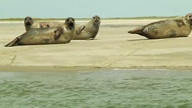 Les phoques seraient entre 450 et 7000 sur les côtes sablonneuses de la Manche.