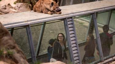 Une hyène au zoo de Thoiry