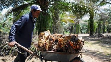 Sur une plantation de palmiers, en Malaisie.