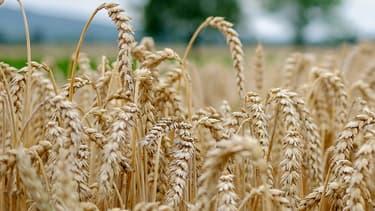 Un champ de blé (photo d'illustration)