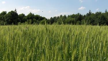 Un champ de blé à Berezhany dans l'ouest de l'Ukraine.