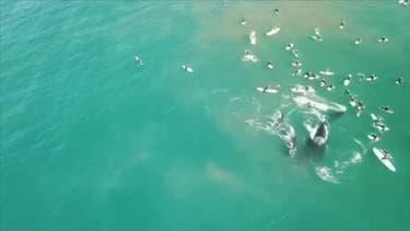 Australie: une baleine et son bébé à la rencontre de surfeurs